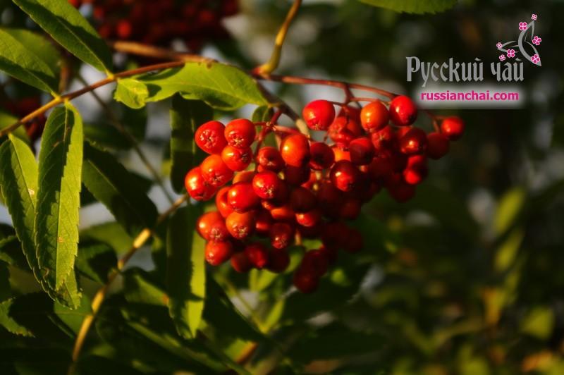 Иван чай с РЯБИНОЙ красной — будешь осенью прекрасной