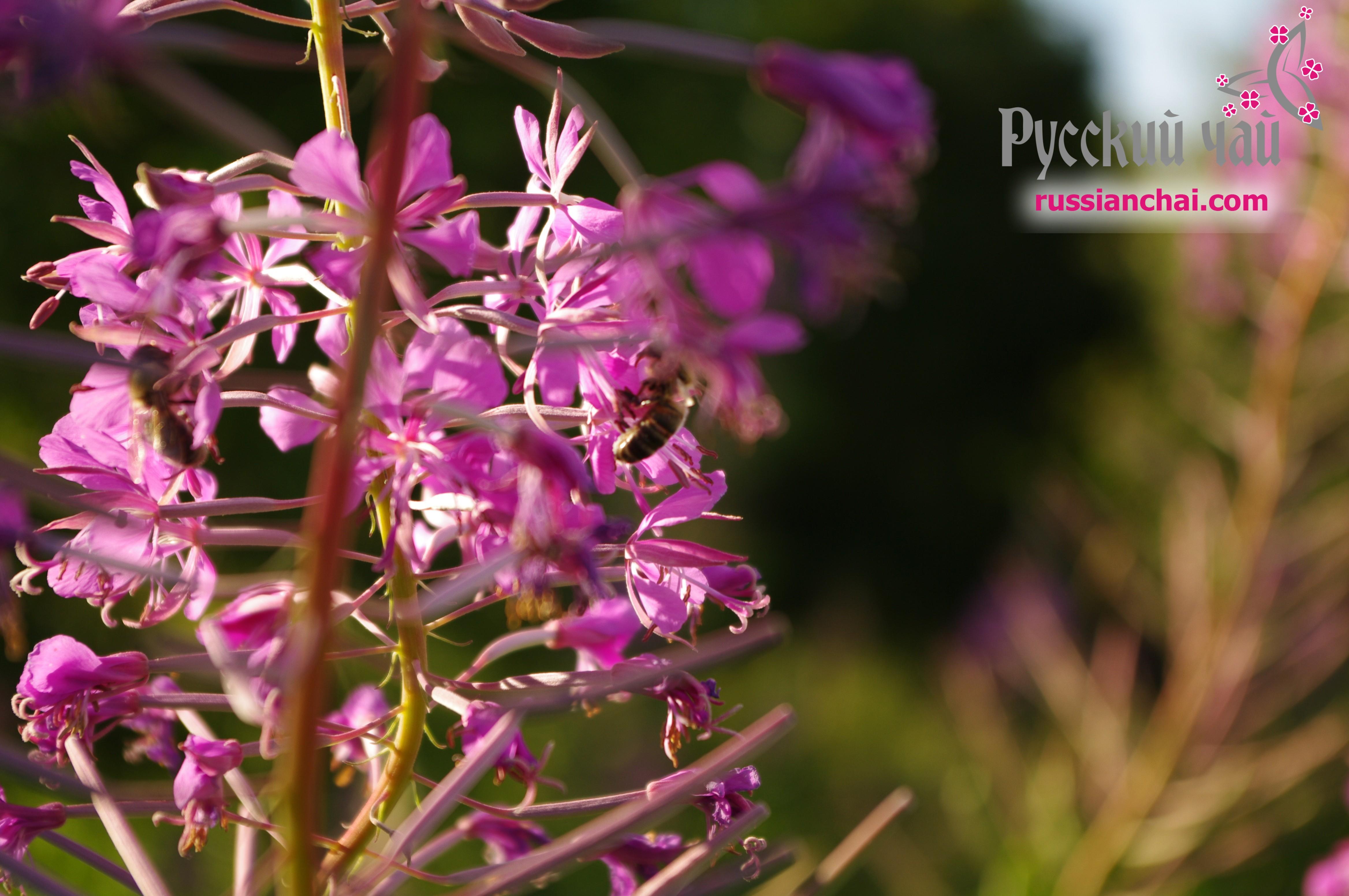 Лечебные свойства иван-чая и противопоказания