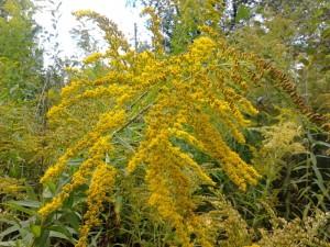 золотарник канадский - соцветия