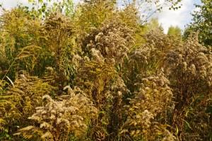 золотарник канадский осенью