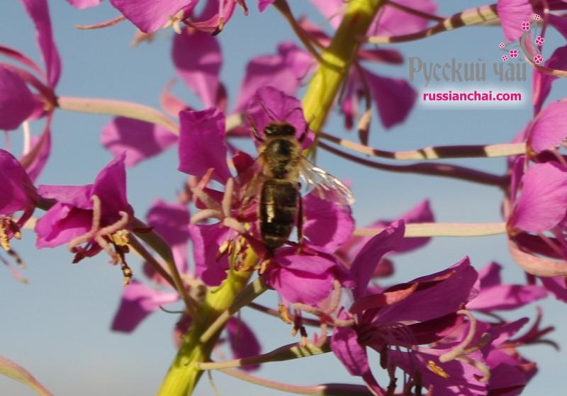 Пчела и кипрей