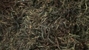 Цельнолистовой иван-чай - сразу после роллера